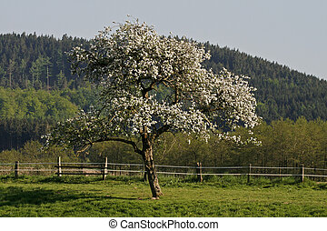 Apple tree in Lower Saxony, Germany, Europe