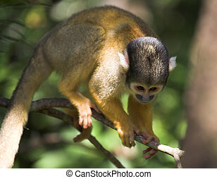 Cute squirrel monkey (Saimiri) at monkey world in South...