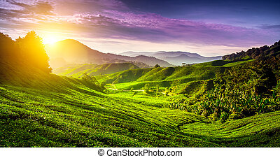 Tea plantation in Cameron highlands, Malaysia. Nature...