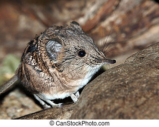 Elephant-shrew on stone