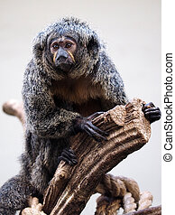 Female white faced Saki
