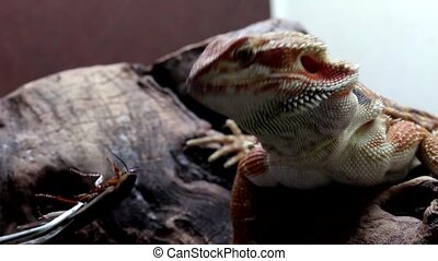 Bearded Dragon or Pogona vitticeps eating a cockroach,...