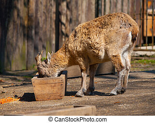 Young tadjik markhor at a feeding rack in the zoo
