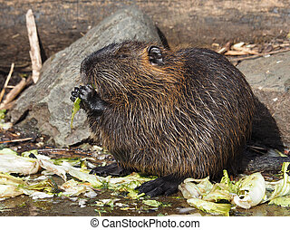 Bever rat - Portrait of a Bever rat eating cabbage
