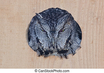 Evil Looking Western Screech-Owl Peering Out From a Nesting...