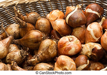 bulbs - tulip bulbs and daffodil bulbs