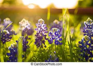 Texas Wildflowers - Texas bluebonnets in late afternoon...