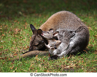wallaby,