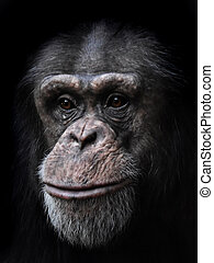 Common Chimpanzee (Pan troglodytes) - Closeup image of the...