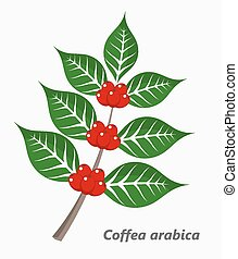 Coffee plant. Vector illustration