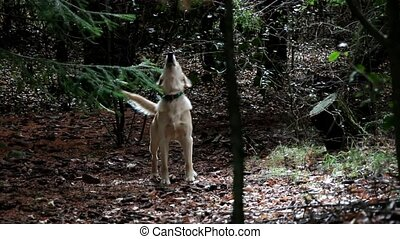 Dog - Golden Retriever - Nervous, Golden Retriever barks at...