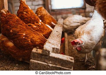 chickens in the coop - chickens in the coop selective focus...