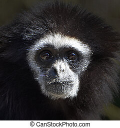 Lar Gibbon Hylobates lar - Closeup portrait of a black and...