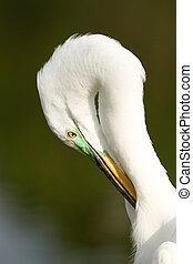 Portrait of Great egret in breeding colors grooming
