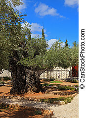 Small garden of Gethsemane - Ancient Jerusalem. Small garden...