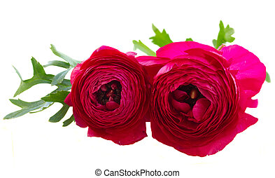 pink ranunculus flowers - two pink ranunculus flowers with...