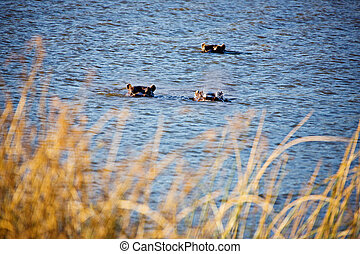 hippos - three hippos submerged in the lake, framed with...
