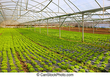 Lettuce Greenhouse - Hot greenhouse full of green small...