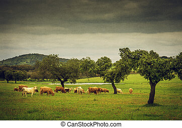 Pasturing Cows - Cows pasturing in a grassland with a lake...