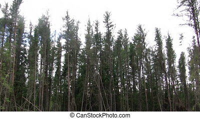 Seamless Loop Jack Pine Forest - A group of jack pines...