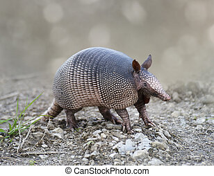 Nine-banded Armadillo In Florida Wetlands