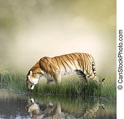 Tiger Near Pond - Tiger On Grassy Bank With Reflection