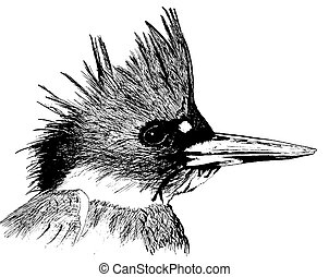 Belted Kingfisher Ceryle alcyon Pen-and-Ink