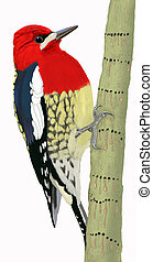 Red-breasted Sapsucker Syphyrapicus ruber