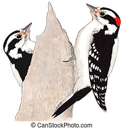 Downy Woodpecker pair Picoides pubescens Ink colored pencil...
