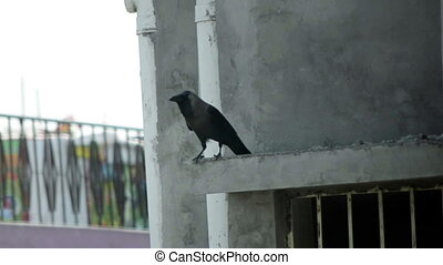 Carrion Crow On concrete Pellet