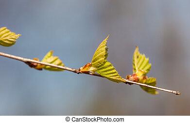 branch of a birch closeup