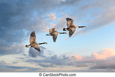 Flight of the Geese - Canadian Geese flying into a sunset