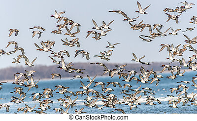 Canvasback Duck Chaos - A Large flock of CanvasBacks Ducks...