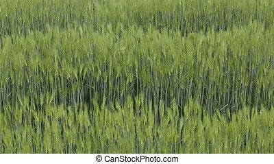 green field of wheat in the spring