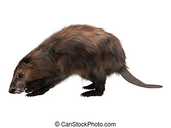 Beaver - 3D digital render of a beaver isolated on white...