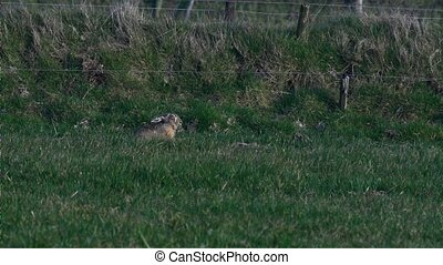 european hare in springtime