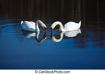 Two swans - Two white swans swimming in a blue water