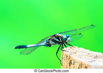 Orthetrum albistylum speciosum subspecies of white-tailed...