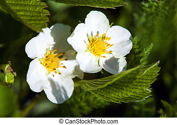 Blackberry bush flowers Rubus fruticosa, buds and foliage