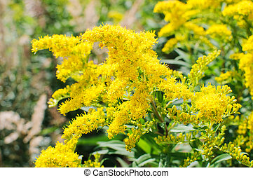 Blooming Goldenrod, Solidago flower or Zlata Rozga