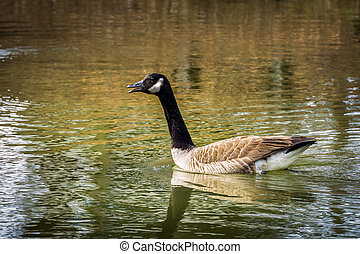 Canadian Goose - Goose on lake in Virginia Beach, Va on its...