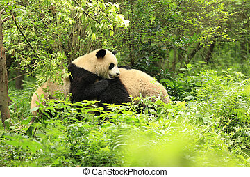 two young giant panda playing at forest