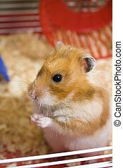 Hamster in cage - Teddy bear hamster being cute in cage with...