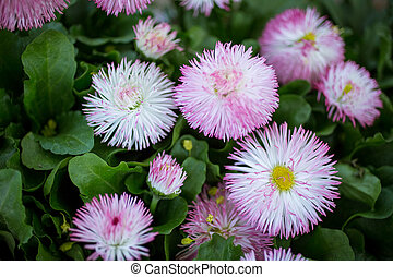 Marguerite flowers - Beautiful pink marguerite flowers,...