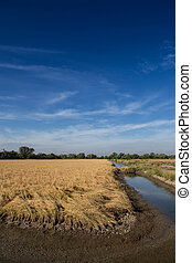 Golden paddy rice field ready for harvest