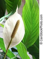 cserepes növény, -, Spathiphyllum, floribundum,...