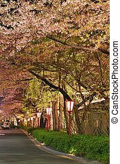 Cherry blossoms along a road - Night view of cherry blossoms...
