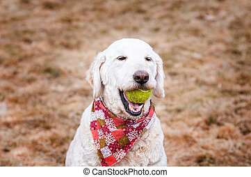 labradoodle dog with a ball
