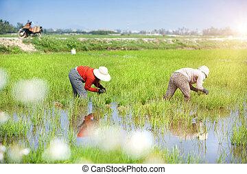 Rice field - Farmers working in rice field in Vietnam