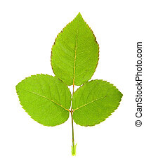 Green leaf rose. Isolated